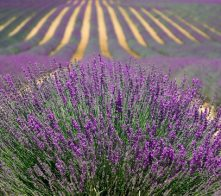 A field of lavender at the Lavender Festival in Sequim, WA.